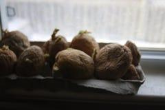 Chitting potatisar framme av fönsterbrädan som ska förberedas för att plantera för vår royaltyfria bilder