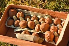 Chitting potatoes Stock Photography