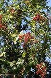 chittorgarh indu henny drzew Obraz Stock