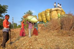 CHITTORGARH, RAJASTHAN, INDIA - DECEMBER 13, 2017: Farmers loading corn stover on a truck in the countryside around Chittorgarh royalty free stock photo