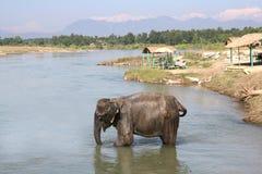 chitwan大象尼泊尔 图库摄影