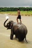 chitwan elefant nepal np för bad Arkivbilder