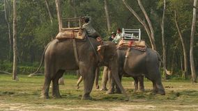 Chitwan National Park, Nepal - 10 October 2018 Mahouts men, asian traditional Indian elephant riders wait for tourists stock video