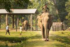 CHITWAN, NEPAL - NOVEMBER 23, 2014: Elephants walking on the law Royalty Free Stock Photography