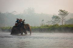 CHITWAN, NEPAL - NOVEMBER 23, 2014: Elephants walking on the law Royalty Free Stock Images