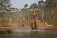 CHITWAN, NEPAL - NOVEMBER 23, 2014: Elephants walking on the law Stock Photo