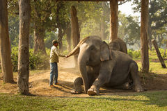 CHITWAN, NEPAL - NOVEMBER 23, 2014: Man cleaning elephant from d Royalty Free Stock Image