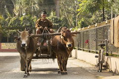 CHITWAN PARK, NEPAL - NOVEMBER 23: Unkown man with his bullock c Stock Photos