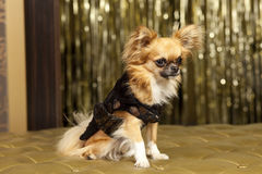 Chiuahua Harry dog. In cooper brown clothes Stock Photos