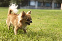 Chiuaua. Little dog on the grass Royalty Free Stock Images