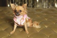 Chiuaua dog. Dog on a gold seat Stock Photo