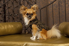 Chiuaua dog. With long hair and clothiers Royalty Free Stock Photos