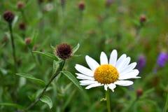 Chiuda fino ad un fiore della margherita Fotografie Stock