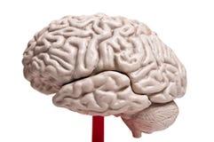 Primo piano ad anatomia del cervello umano Immagini Stock Libere da Diritti