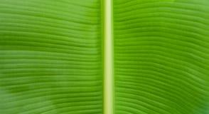 Chiuda fino alla foglia della banana Fotografia Stock Libera da Diritti