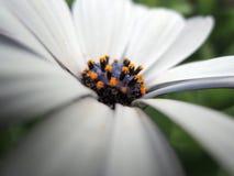 Chiuda sugli Stamens del crisantemo bianco immagini stock libere da diritti