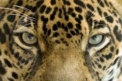 Chiuda gatto del giaguaro degli occhi sul grande, Costa Rica Immagini Stock