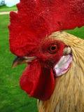 chiuda il gallo capo del Kauai in su Fotografia Stock