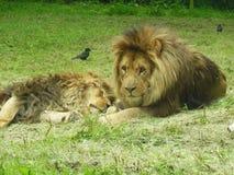Chiuda insieme su dei leoni due Fotografia Stock Libera da Diritti