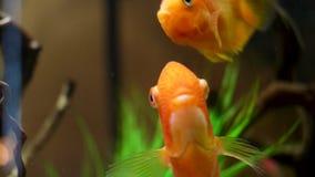 Chiuda lentamente su per lo swimmimg variopinto del pesce rosso in una cassa d'acqua di vetro con le piante e le alghe Pagina Pes stock footage