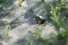 Chiuda su al ragno sulle ragnatele sull'erba con le gocce di rugiada - il fuoco selettivo, gocce di acqua sul web in foresta Immagini Stock Libere da Diritti