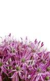 Chiuda su allium porpora di fioritura, fiore della cipolla isolato su un bianco Fotografia Stock Libera da Diritti