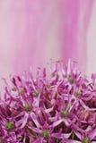 Chiuda su allium porpora di fioritura, fiore della cipolla isolato su un bianco Immagine Stock Libera da Diritti