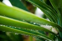 Chiuda su aloe Vera Plant dopo pioggia con le gocce Israele all'aperto Fotografia Stock