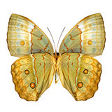 Chiuda su bello PA cambogiano dell'ala più bassa della farfalla di Junglequeen Fotografia Stock