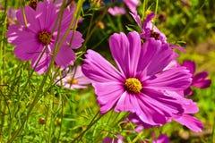 Chiuda su bello universo nel giardino fiore dell'universo in un giorno luminoso del cielo Fotografie Stock