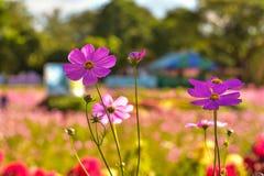 Chiuda su bello universo nel giardino, giacimento di fiore dell'universo Fotografia Stock Libera da Diritti