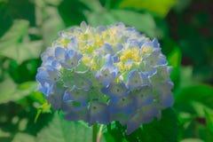 Chiuda su bianco e delicatamente sulla viola del fiore dell'ortensia fotografia stock libera da diritti
