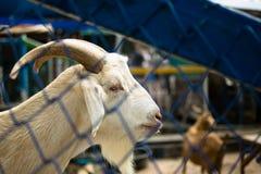 Chiuda su bianco in gabbia allo zoo aperto, Chonburi, Tailandia Fotografia Stock Libera da Diritti