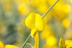 Chiuda su bramch del fiore giallo della canapa delle indie immagine stock libera da diritti