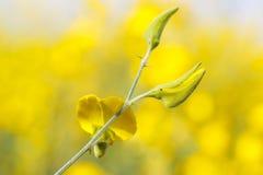 Chiuda su bramch del fiore giallo della canapa delle indie fotografia stock libera da diritti