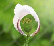 Chiuda su in campo e sole del papavero Fotografia Stock