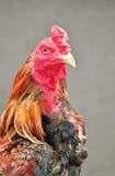 Chiuda su combattimento di galli. Immagini Stock