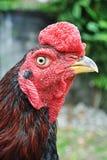 Chiuda su combattimento di galli tailandese Fotografia Stock