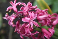 Chiuda su con un fiore rosa Immagini Stock Libere da Diritti