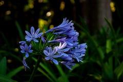 Chiuda su da fioritura blu esotica fotografie stock libere da diritti