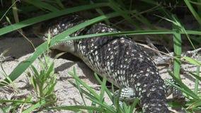 Chiuda su da una lucertola dello shingleback che cammina attraverso l'erba in Australia occidentale video d archivio