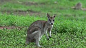 Chiuda su dal wallaby che guarda dentro alla macchina fotografica e che mangia l'erba archivi video