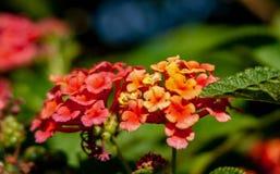 Chiuda su dalla bacca color giallo canarino con il fiore fotografia stock
