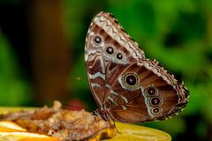 Chiuda su dalla farfalla piacevole mangiando fotografia stock libera da diritti