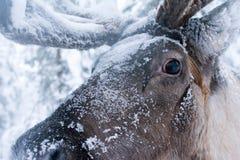Chiuda su dalla renna fotografie stock libere da diritti