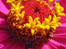Chiuda su degli stamens rosa di zinnia fotografie stock libere da diritti