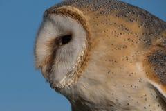 Chiuda su dei barbagianni in dettaglio di rappresentazione di profilo nelle piume, nel becco e nell'occhio fotografia stock libera da diritti