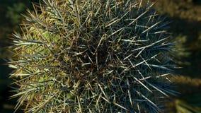 Chiuda su dei cactus del cactus in deserto caldo con le spine dorsali e le spine fotografie stock libere da diritti