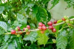Chiuda su dei chicchi di caffè della ciliegia sul ramo della pianta del caffè prima della raccolta Immagini Stock Libere da Diritti