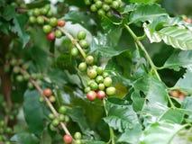 Chiuda su dei chicchi di caffè della ciliegia sul ramo della pianta del caffè prima della raccolta Immagine Stock Libera da Diritti